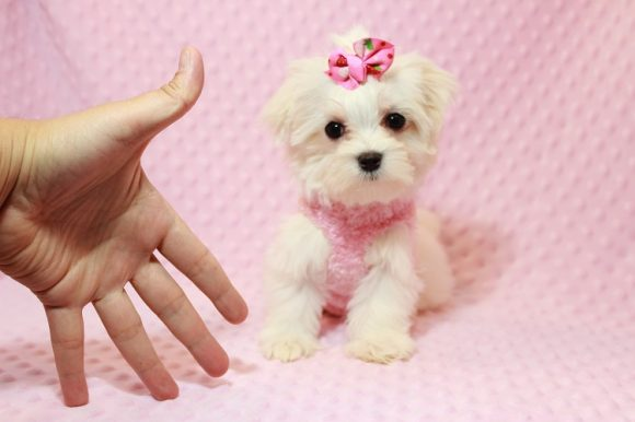 Margarita - Teacup Maltese Has Found A Loving Home With The Knowles Family In Las Vegas!-0