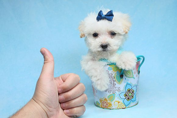 Mark Wahlberg - Teacup Maltipoo Puppy has found a good loving home with Jeanine from Mound House, NV 89706-0