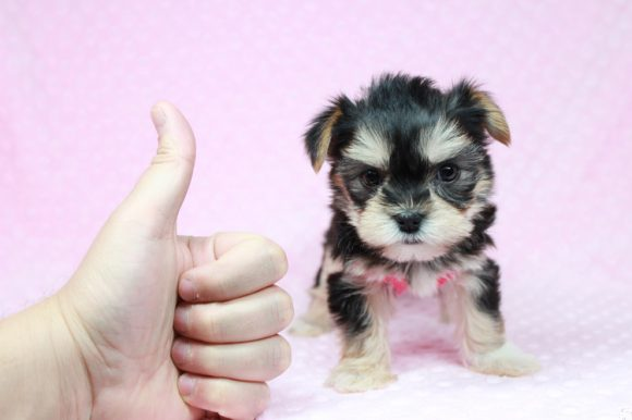 Mary Poppins - Teacup Morkie Puppy has found a good loving home with Bertha from Highland, CA 92346-0