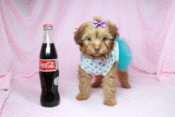 Teacup and Toy Malshi Puppies For Sale in Bronx NY 10462 -0