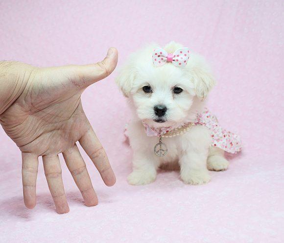 Masha - Teacup Maltese Puppy For Sale