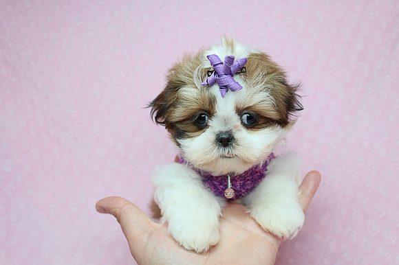 Mashu Mashu - Teacup Shih Tzu Puppy For Sale