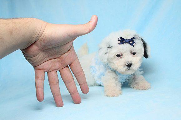 Matt Damon - Teacup Maltipoo Puppy has found a good loving home with Gaila from North Las Vegas, NV 89081-0