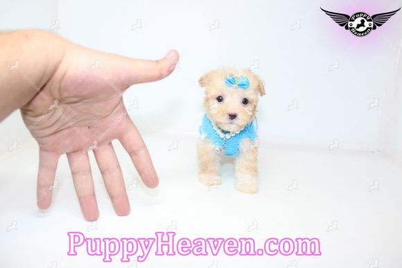 Michelangelo - Tiny Teacup Maltipoo Puppy find his Loving Home with Minyu from Northridge CA-0