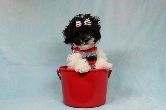 Milo - Teacup Malshi Puppy has found a good loving home with Joseph & Sonia from Cave Creek, AZ 85331-0