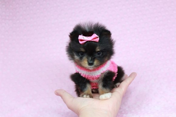 Miss Tiny - Tiny Teacup Pomeranian Puppy has found a good loving home with Diana from Las Vegas, NV 89139-0