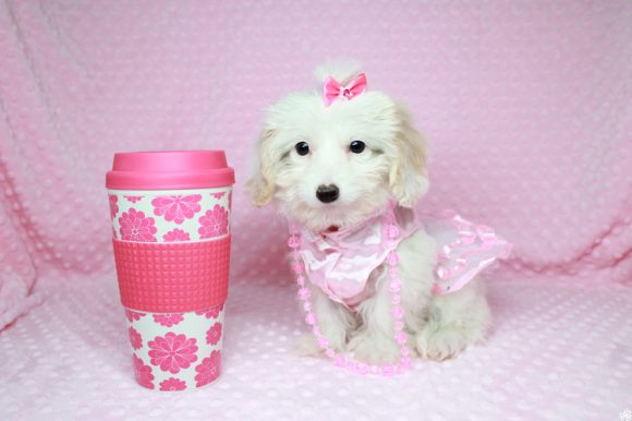 Moana - Teacup Maltipoo Puppy has found a good loving home with Naiby from Las Vegas, NV 89169-0