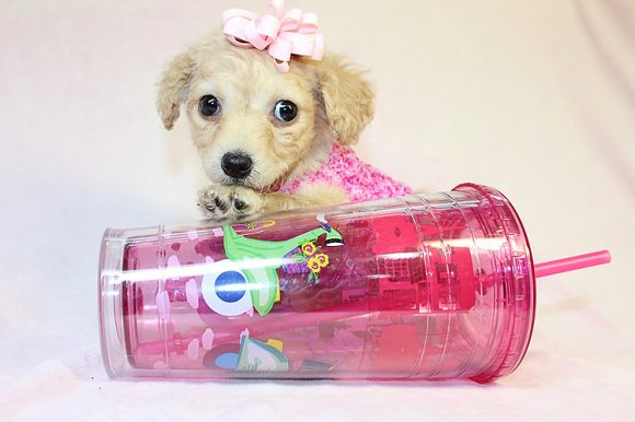 Molly - Teacup Maltipoo Puppy