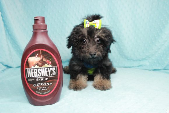 Money Maker - Toy Maltipoo Puppy has found a good loving home with Josiah from North Las Vegas, NV 89031-0