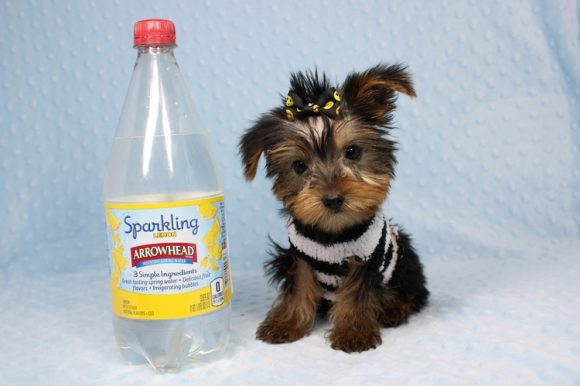 Moose - Teacup Yorkie Puppy-0