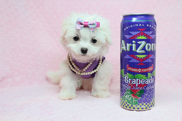 Miss Perfect - Teacup Maltipoo Puppy has found a good loving home with Dionne from North Las Vegas, NV 89084-0