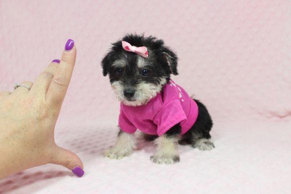 Mulan - Tiny Teacup Morkie Puppy -0