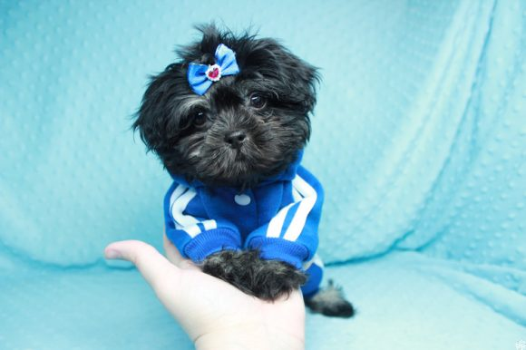 Neymar - Teacup Shih-Tzu Puppy has found a good loving home with Onofre from Lancaster, CA 93535-0