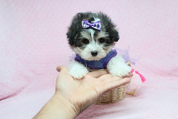 Obsession- Teacup Pomtese puppy in Los Angeles Las Vegas