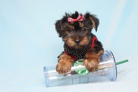 Odell Beckham Jr. - Toy Yorkie Puppy has found a good loving home with David from Clovis, CA 93611-0