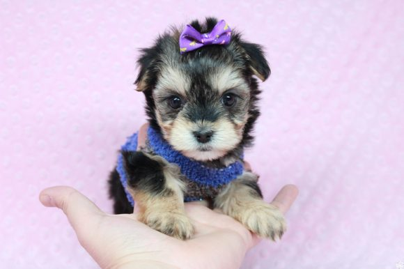Olivia the First - Teacup Morkie Puppy has found a good loving home with John from Henderson, NV 89052.-0
