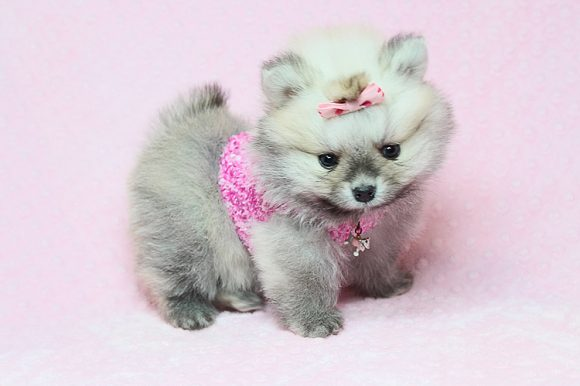 OMG - Teacup Pomeranian puppy in Los Angeles Las Vegas