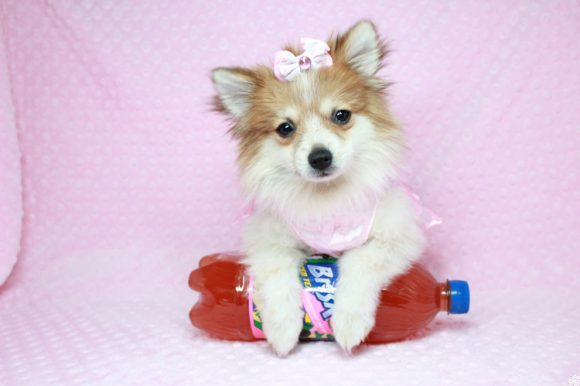 Paris - Teacup Pomeranian Puppy has found a good loving home with Candy from La Verkin, UT 84745-0