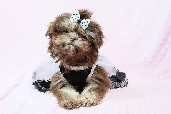 Peach - Teacup Shih Tzu Puppy has found a good loving home with Michael from Las Vegas, NV 89123.-0