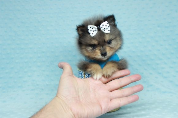 Please Me - Tiny Teacup Pomeranian Puppy has found a good loving home with Nilija from Los Angeles, Ca 90302.-0