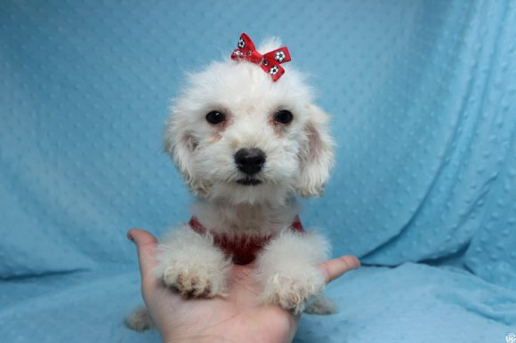 Pokemon - Teacup Maltipoo Puppy has found a good loving home with Anat from Los Angeles, CA 90068.-0