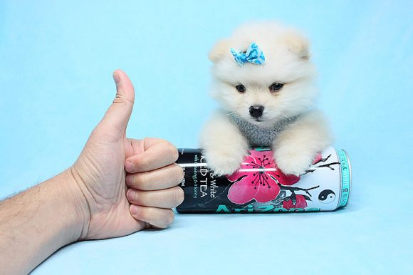 Prince Ali - Teacup Pomeranian puppy in Los Angeles Las Vegas