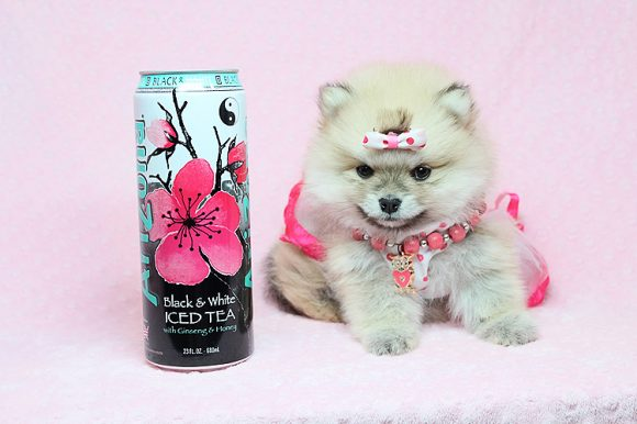 Princess Jasmin - Teacup Pomeranian puppy in Los Angeles Las Vegas