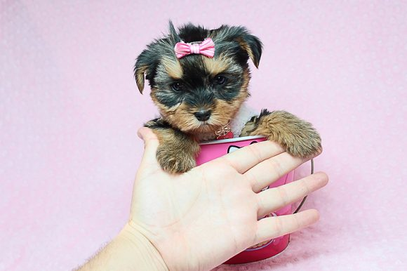Pupsicle - Toy Yorkie Puppy has found a good loving home with Jessica from Largo, FL 33773-0