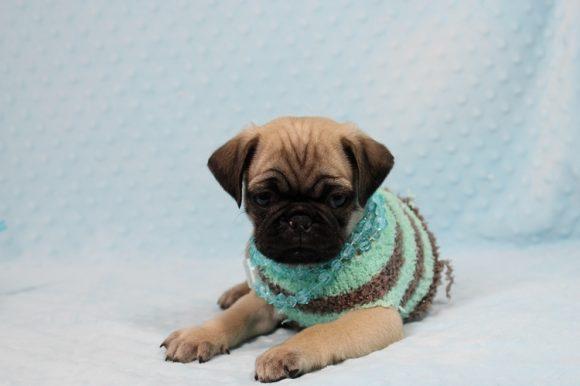 Ranger - Toy Pug Puppy-0