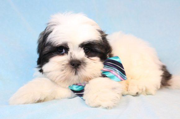 Rufio - Toy Shihtzu puppy