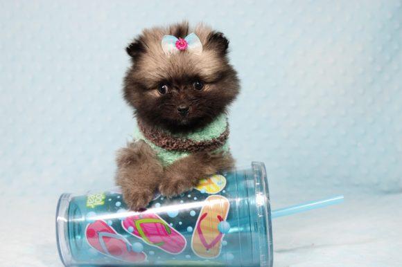Scout - Tiny Teacup Pomeranian Puppy -0