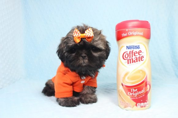 Stanley - Toy Shih-Tzu Puppy is on hold for Jeanette from San Jacinto, CA 92583-0