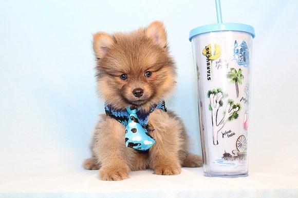 Teddy - Toy Pomeranian Puppy