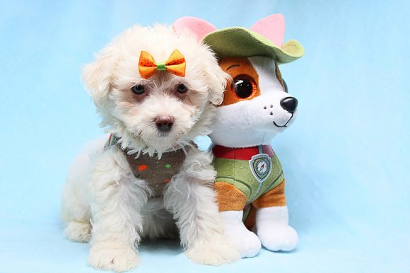 Thor - Teacup Maltipoo Puppy