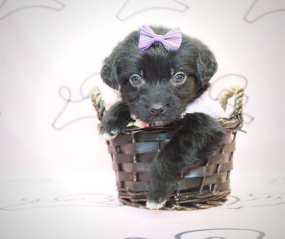 tina Turner - Teacup Maltipoo Puppy For Sale By Breeder.0