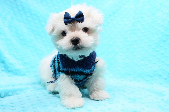 Trevor - Teacup Maltese Puppy has found a good loving home with Sepideh from Thousand Oaks, CA 91362-0