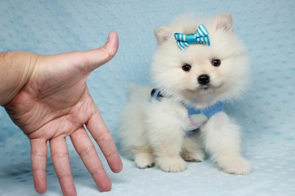 Vanilla Ice - Toy Pomeranian Puppy has found a good loving home with Heather from Altadena, CA 91001.-0