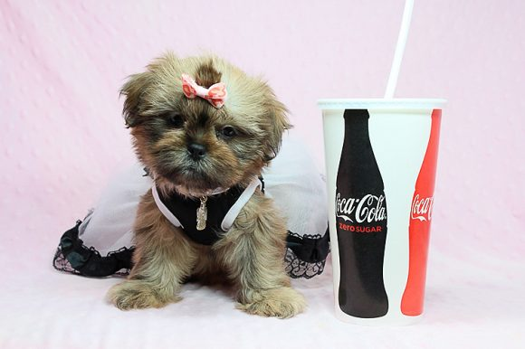 Viva La Juicy - Teacup Shih Tzu Puppy in Los Angeles Las Vegas