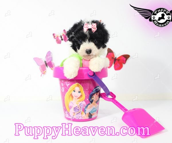 Wendy - Teacup Maltipoo Puppy has found a new loving home with JAMIE FROM LAKE JACKSON, TX 77566-4422