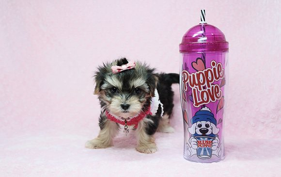 Wow - Teacup Morkie Puppy